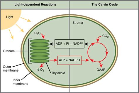 what is the function of a light dependent resistor overview of photosynthesis 183 biology