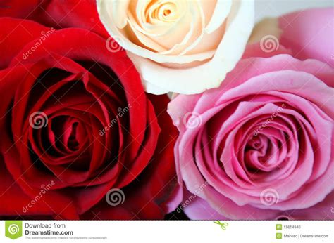 red white and pink roses pictures to pin on pinterest rode roze en witte rozen stock foto beeld 15614940