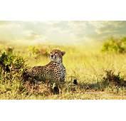 Cheetah Savanna Africa Wallpapers  HD