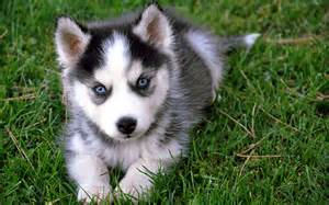 Dog animal picture siberian husky puppies hd wallpaper dog breeds