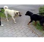 Rottweiler Vs Kangal  Dangerous Meeting YouTube