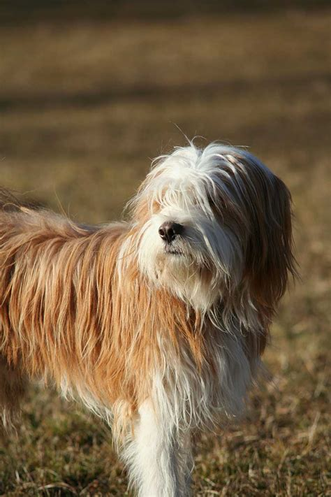 tibetan terrier dog breed   tibetan terrier