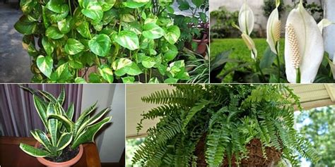 tanaman hias sehat pembersih udara ruangan segaar