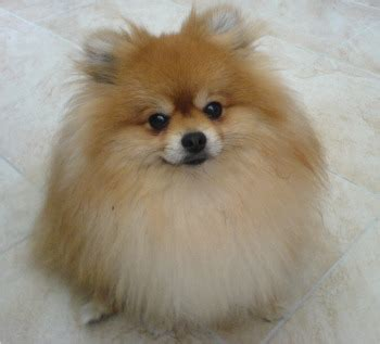 what are pomeranians like pomeranian puppy look like breeds picture