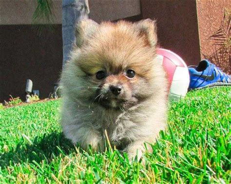 san diego pomeranian pomeranians page 10 for sale ads free classifieds