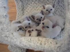 gambar kucing cute anak siam oceane dreams model find the