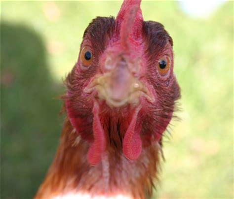 chicken funny face: itrybutfail: galleries: digital