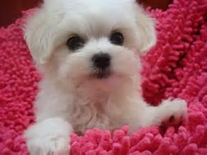 Cute small white dog