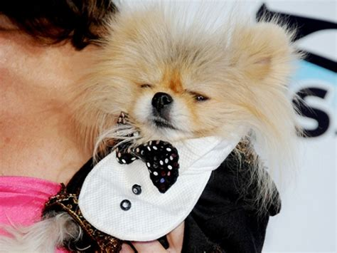 giggy the pomeranian how did vanderpump s giggy lose his fur alopecia