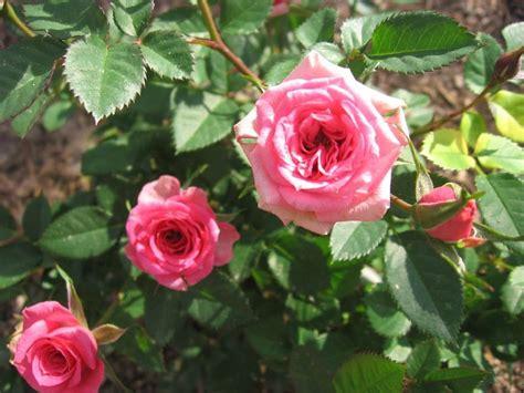 imagenes de jardines con rosales cuidar los rosales es facil 237 simo plantas