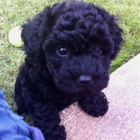She Sheds For Sale Miniature Poodle
