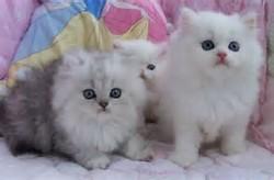 ayam dan sebagainya gallery foto dan gambar kucing persia terbaru