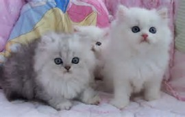 Foto Bayi Kucing Lucu Dan Imut   cmsfc.com