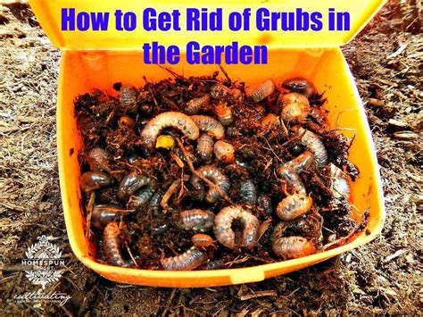 how to kill grubs naturally 119 best images about gardening on gardens container gardening and citronella plant