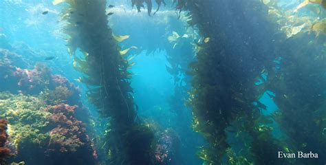 The In The Kelp ecology of seaweed and its environmental significance ccber