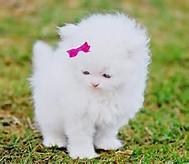 Pink Bow White Kitten