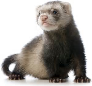 Ferret Owning Images