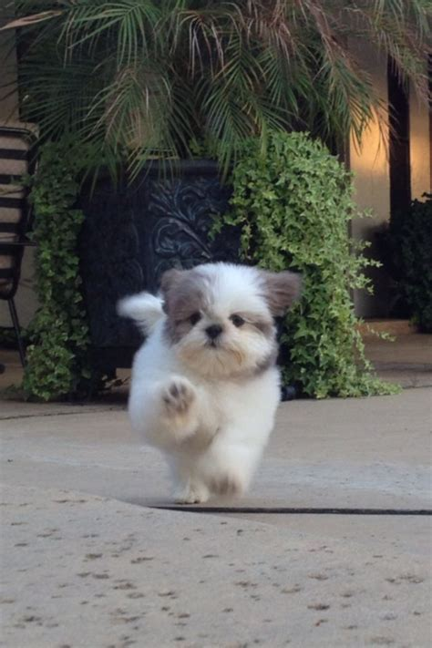 shih tzu buy best 25 baby shih tzu ideas on