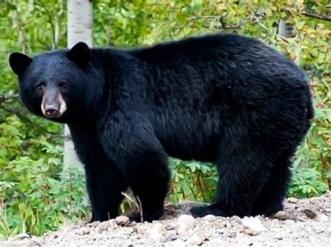 imagenes oso negro coahuila tiene la mayor poblaci 243 n de oso negro en el pa 237 s