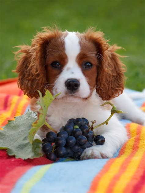 grapes dogs 5 foods you shouldn t feed your page 3 of 6 home remedies