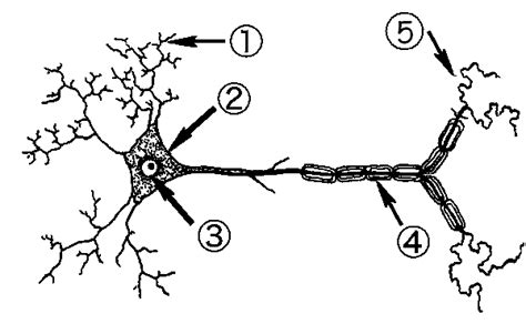 labelled diagram of nerve cell nervous system label the neuron