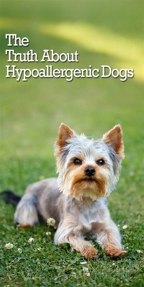 Is Shedding by The Itchy About Hypoallergenic Dogs