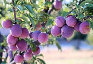 santa rosa plums living in italy