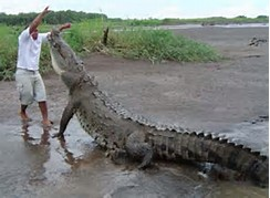 Costa Rica Saltwater Crocodiles