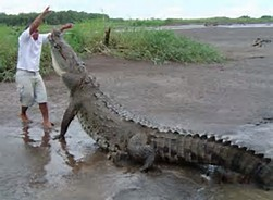 Largest Saltwater Crocodile