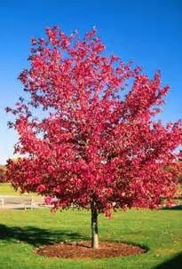 american red maple seeds acer rubrum brilliant autumn colour