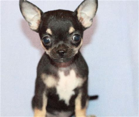 apple chihuahua puppies for sale chihuahua puppies for sale apple heads smooth co dogs and puppies 39659011