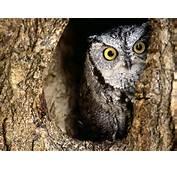 Owl  Owls Wallpaper 31450187 Fanpop