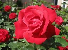 Mawar Merah | Tattoo Design Bild
