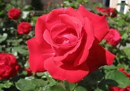 Red Rose Flower Identification