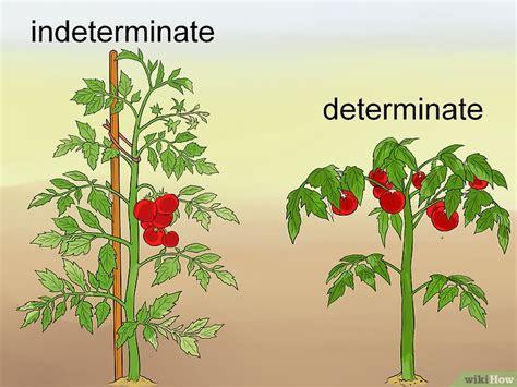 come potare i pomodori in vaso come potare i pomodori 9 passaggi illustrato