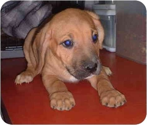 pitbull golden retriever mix puppies for sale golden retriever and staffordshire terrier mix breeds picture