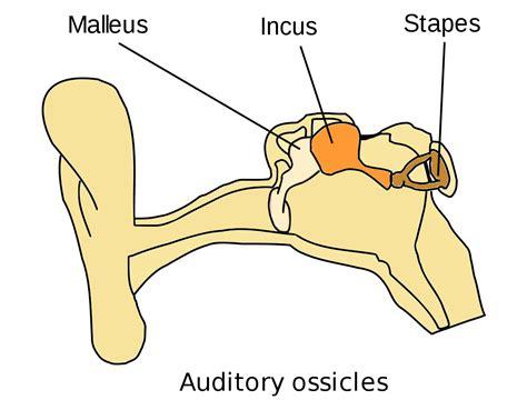 6 Auditory Bones malleus wiktionary