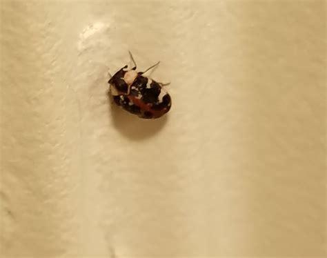how to get rid of carpet beetles in my bedroom how to get rid of carpet beetles 12 steps with pictures