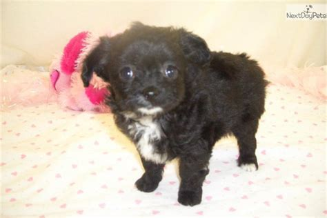 teacup chi poo puppies for sale chi poo chipoo puppy for sale near springfield missouri 01ad5fdb 5381