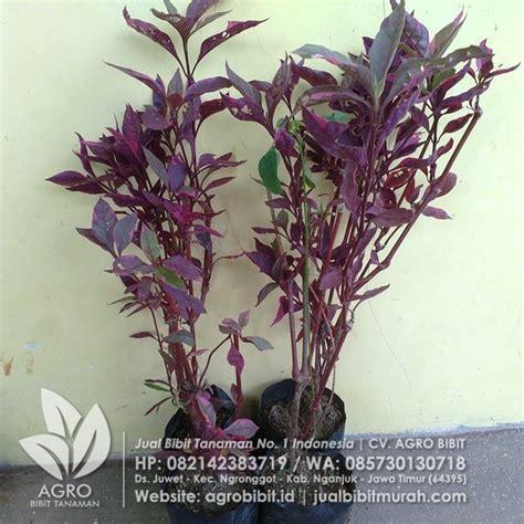 Bibit Tanaman Hias Merah jual tanaman hias erpah kuncir merah