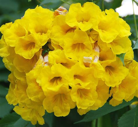 gallery names of yellow flowers