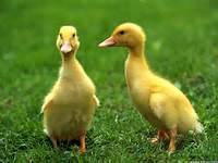 Baby Animals Ducks Pictures