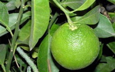 Minyak Atsiri Jeruk uji aktivitas antibakteri minyak atsiri daun jeruk keprok