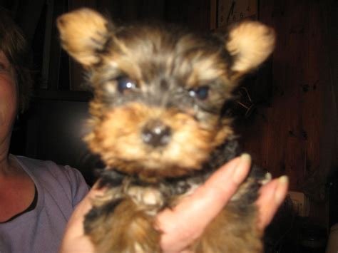 large yorkie puppies yorkie puppies turriff aberdeenshire pets4homes
