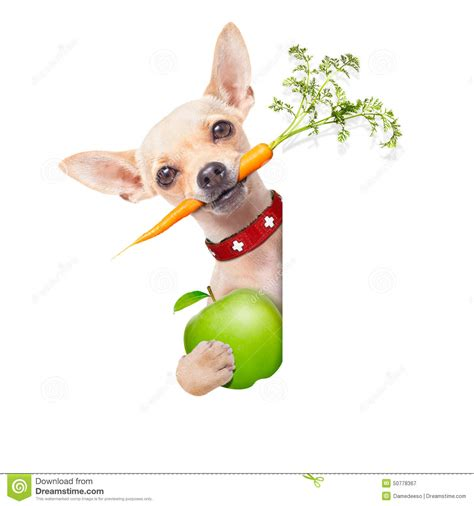 chihuahua dog eating food from a bowl royalty free stock healthy hungry dog stock photo image 50778367