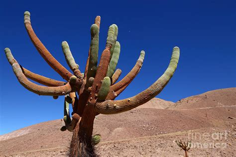 cactus candelabro browningia candelaris cactus chile photograph by brunker