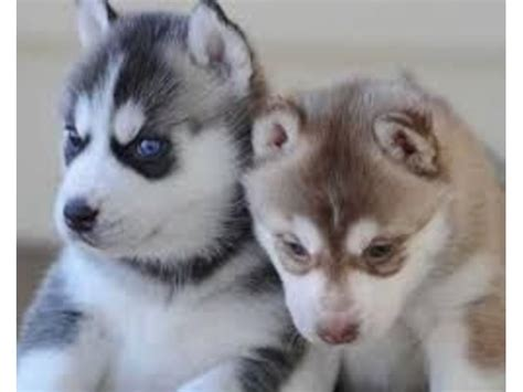buffalo puppies for sale husky puppies for sale animals buffalo illinois announcement 35255