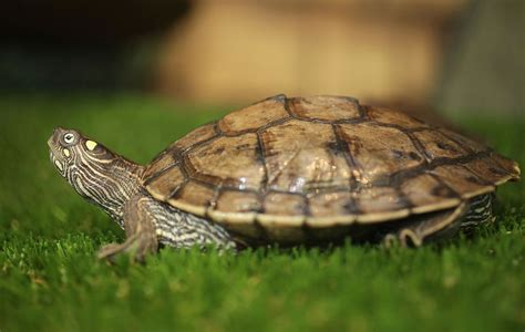 how to care for mississippi map turtles