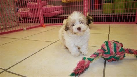 havanese puppies ga gold havanese puppies for sale in ga at puppies for sale local breeders