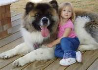 Saw A Long Haired Akita Like This At PetSmart The Other Night Huge